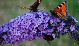 arbusto-de-las-mariposas-flor