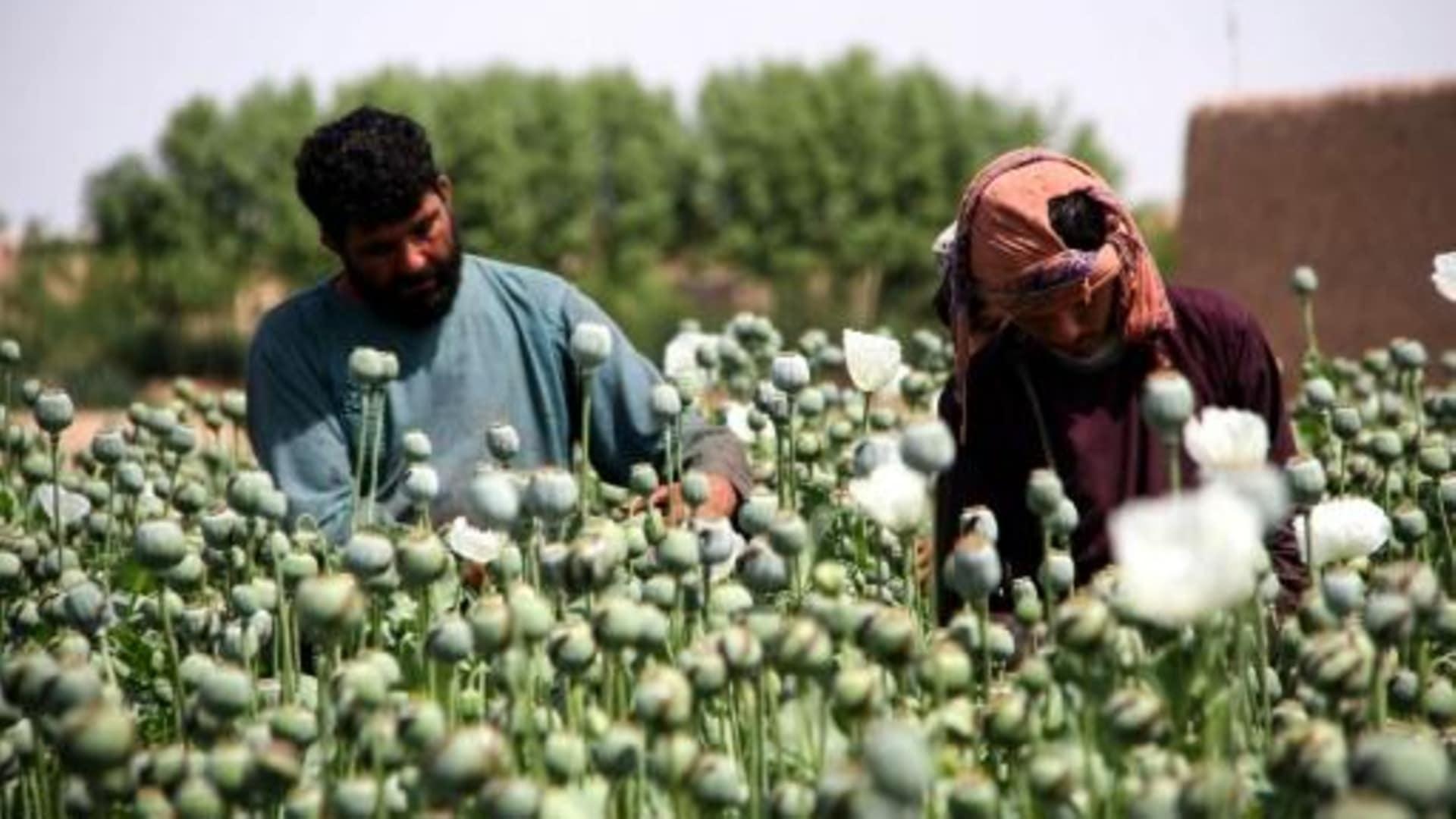 afganos flores